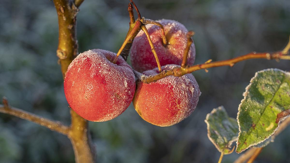 Jabłka w czasie przymrozków