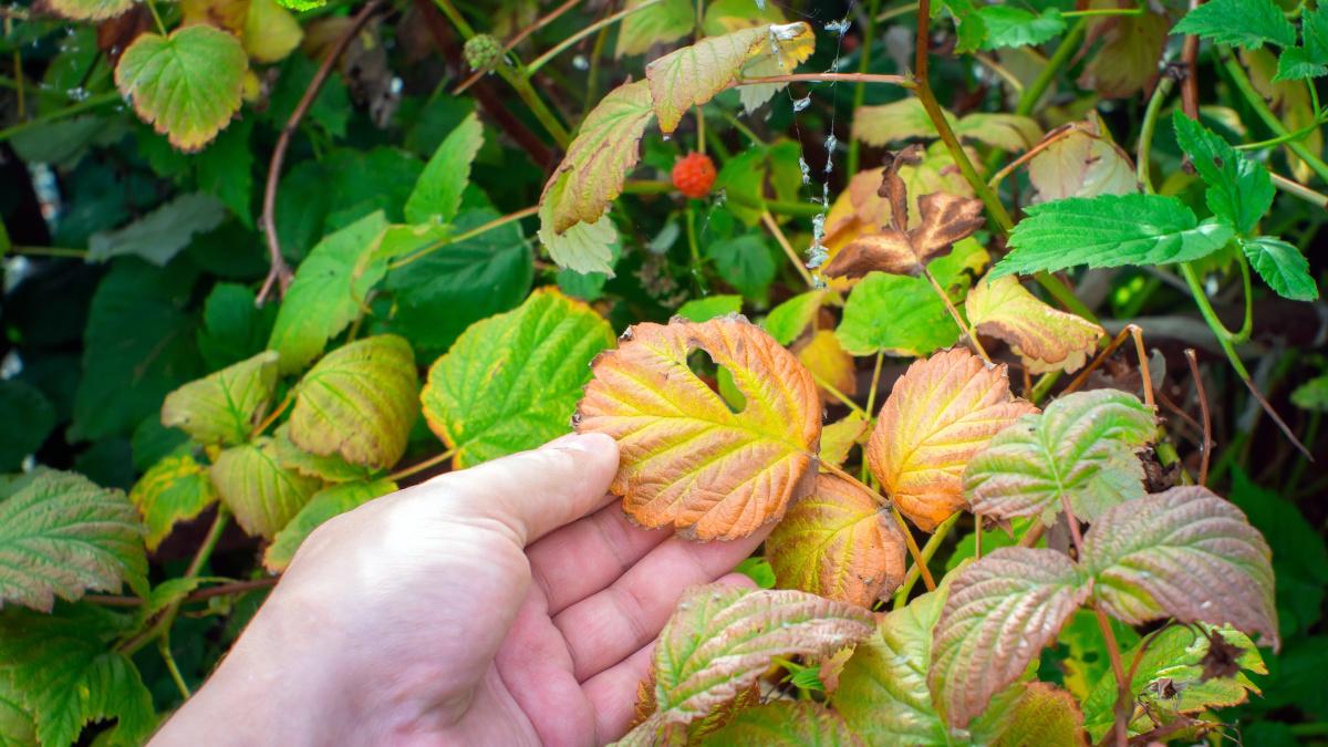 Uszkodzenia herbicydowe malin objawiają się na przykład żółknięciem liści