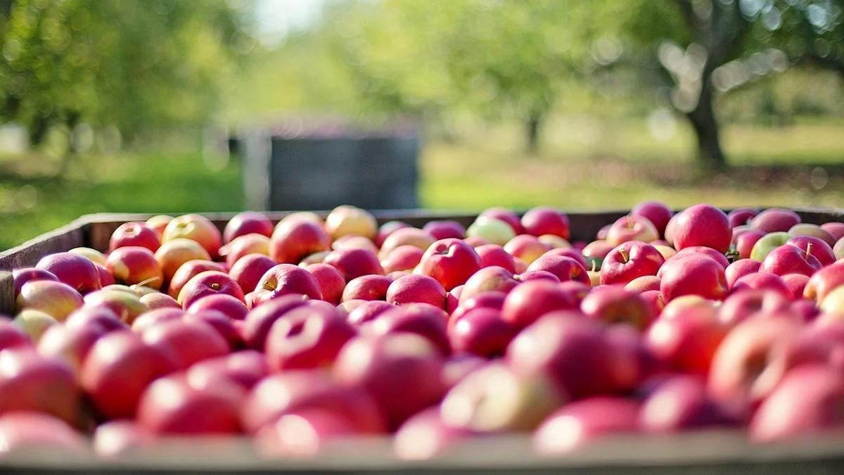 wybarwianie jabłek
