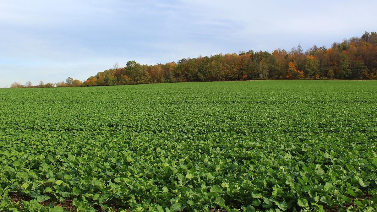 uszkodzenia herbicydowe rzepaku